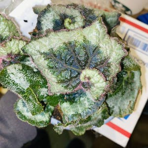Rex Begonia 'Escargot' plant photo by Maria named Spiral Hill on Greg, the plant care app.