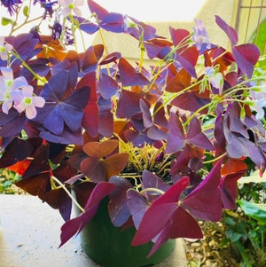 Purple Shamrocks plant photo by Maria named Antheia on Greg, the plant care app.
