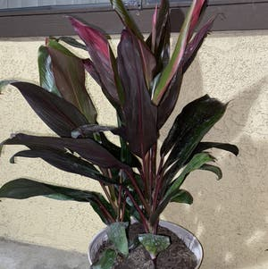 Hawaiian Ti Plant plant photo by Maria named Stitch on Greg, the plant care app.