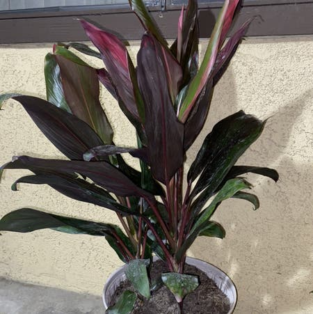 Photo of the plant species Hawaiian Ti Plant by Maria named Stitch on Greg, the plant care app