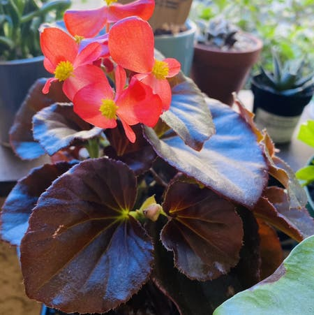 Photo of the plant species Begonia cucullata by Maria named Winnie on Greg, the plant care app