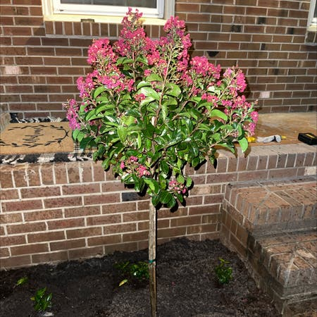 Photo of the plant species Lagerstroemia Indica by Amber.ligreci named Bitty on Greg, the plant care app