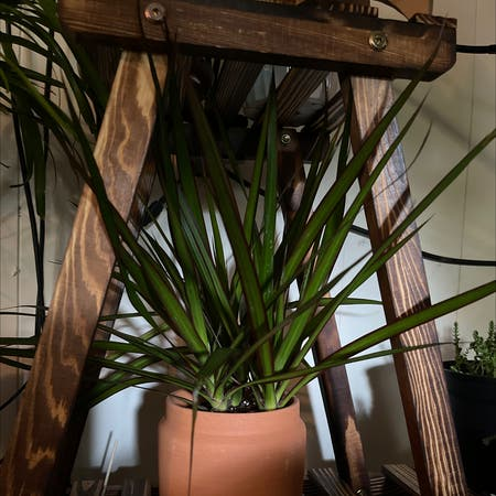 Photo of the plant species Spikes by Markaaron23 named Athena on Greg, the plant care app