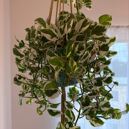 Photo of the plant species Pothos N'Joy by Veronica named Trixie on Greg, the plant care app
