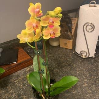 Phalaenopsis orchid plant in Tulsa, Oklahoma