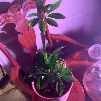 Dwarf Umbrella Tree plant in Tulsa, Oklahoma