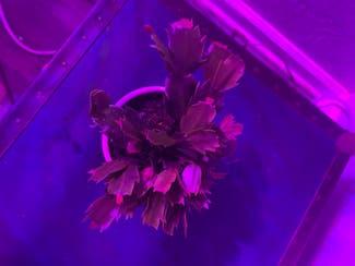 False Christmas Cactus plant in Tulsa, Oklahoma