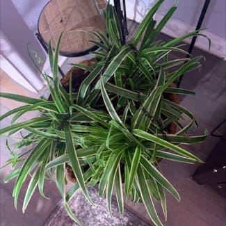 Spider Plant plant in Tulsa, Oklahoma