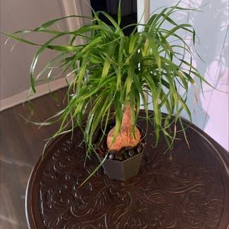 Ponytail Palm plant in Tulsa, Oklahoma