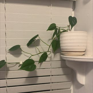 Heartleaf philodendron plant in Tulsa, Oklahoma