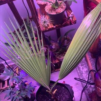 California fan palm plant in Tulsa, Oklahoma