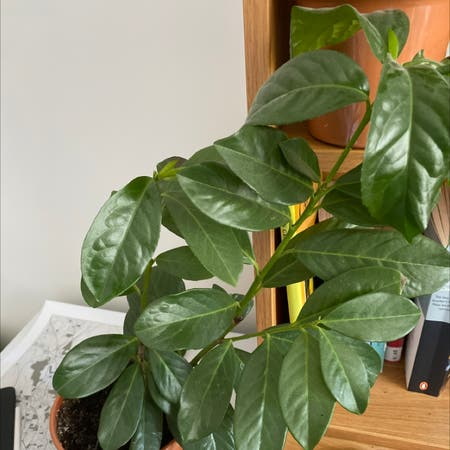Photo of the plant species English Laurel by Max named Your plant on Greg, the plant care app