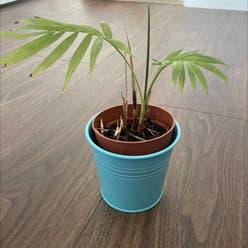Parlour Palm plant