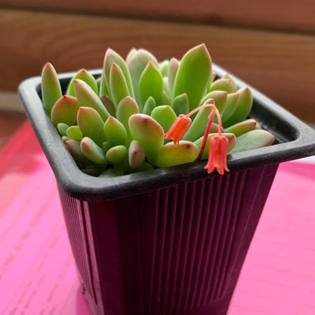 Photo of the plant species Pachyphytum 'Dr. Cornelius' by Codiejagger named Dr Cornelius on Greg, the plant care app