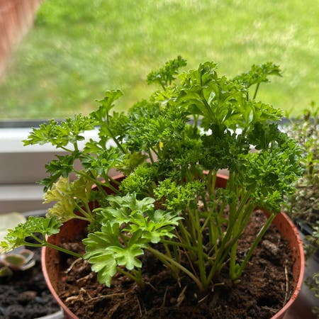 Photo of the plant species Italian Parsley by Ashcud899 named da Vinci on Greg, the plant care app