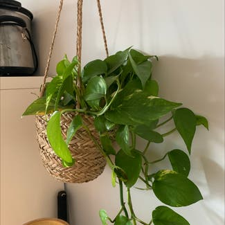 Golden Pothos plant in Costessey, England