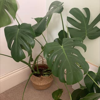 Monstera plant in Costessey, England