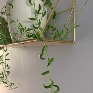 String of Bananas plant photo by Danielndmills named Cleopatra on Greg, the plant care app.