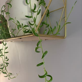 String of Bananas plant in Costessey, England