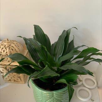 Cornstalk Dracaena plant in Costessey, England