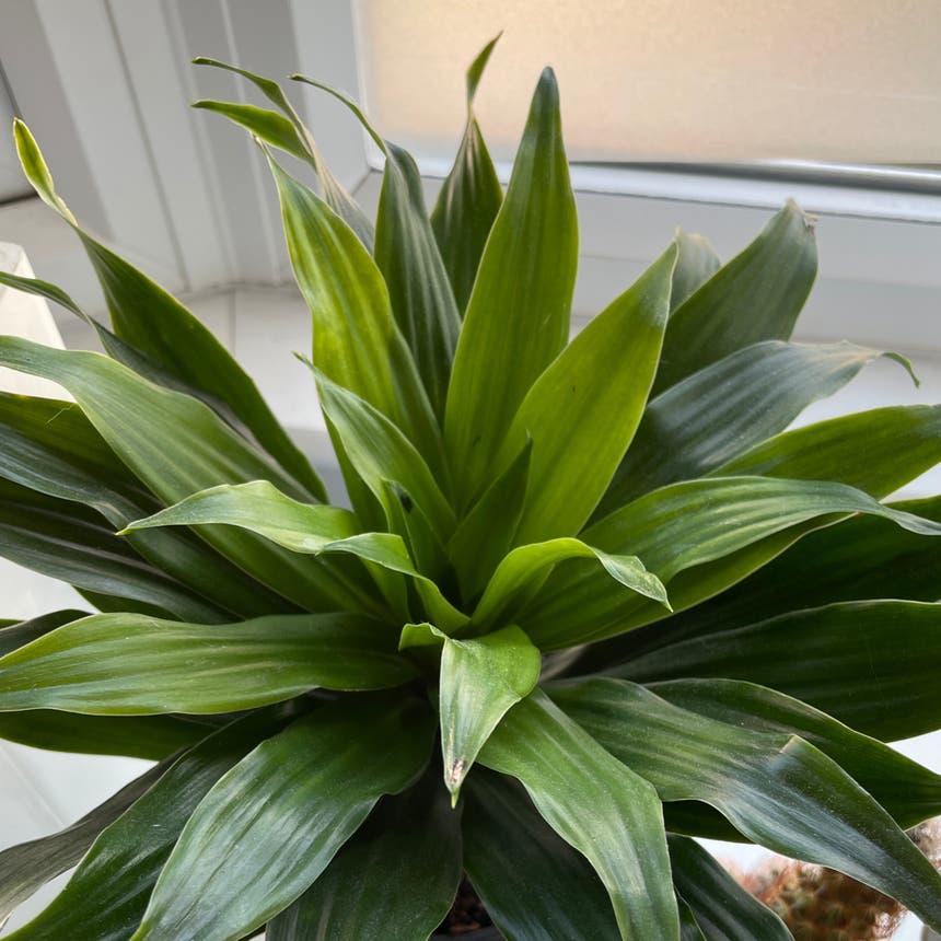 Cornstalk Dracaena plant in Windsor, England