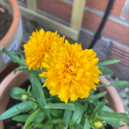 Photo of the plant species Golden Sphere by Alex named Your plant on Greg, the plant care app