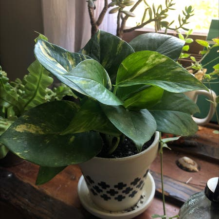 Photo of the plant species Pothos vine 'Jade Green' by Lilygerow named Abbie on Greg, the plant care app