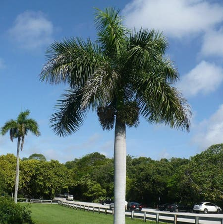 Photo of the plant species Roystonea Regia by Khristen named ROYAL PALM TREE on Greg, the plant care app