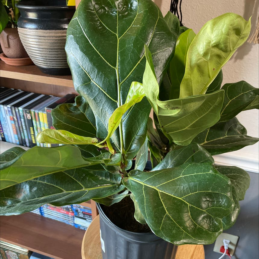 Fiddle Leaf Fig plant in Oklahoma City, Oklahoma