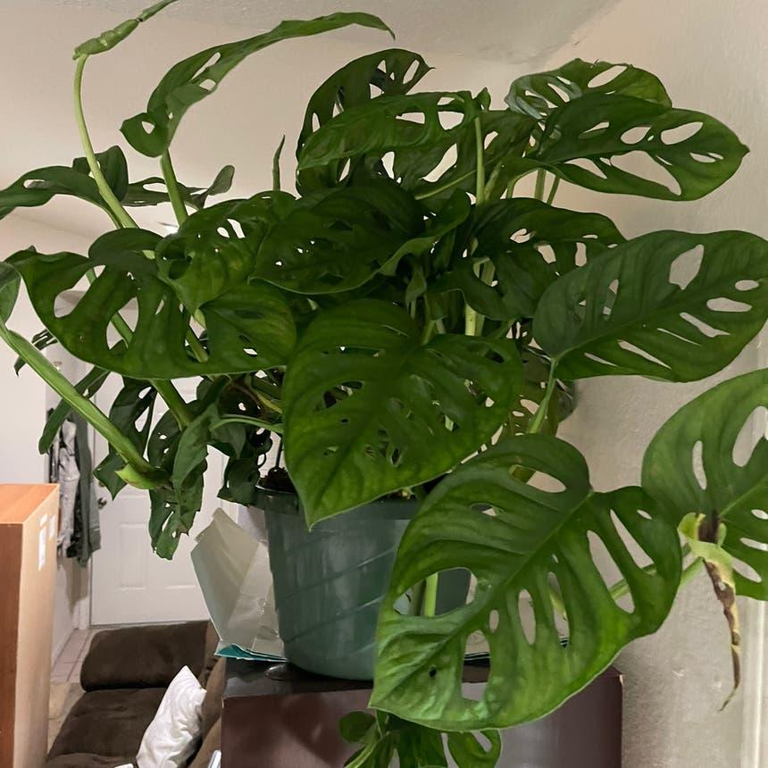 Window Leaf plant in Oklahoma City, Oklahoma