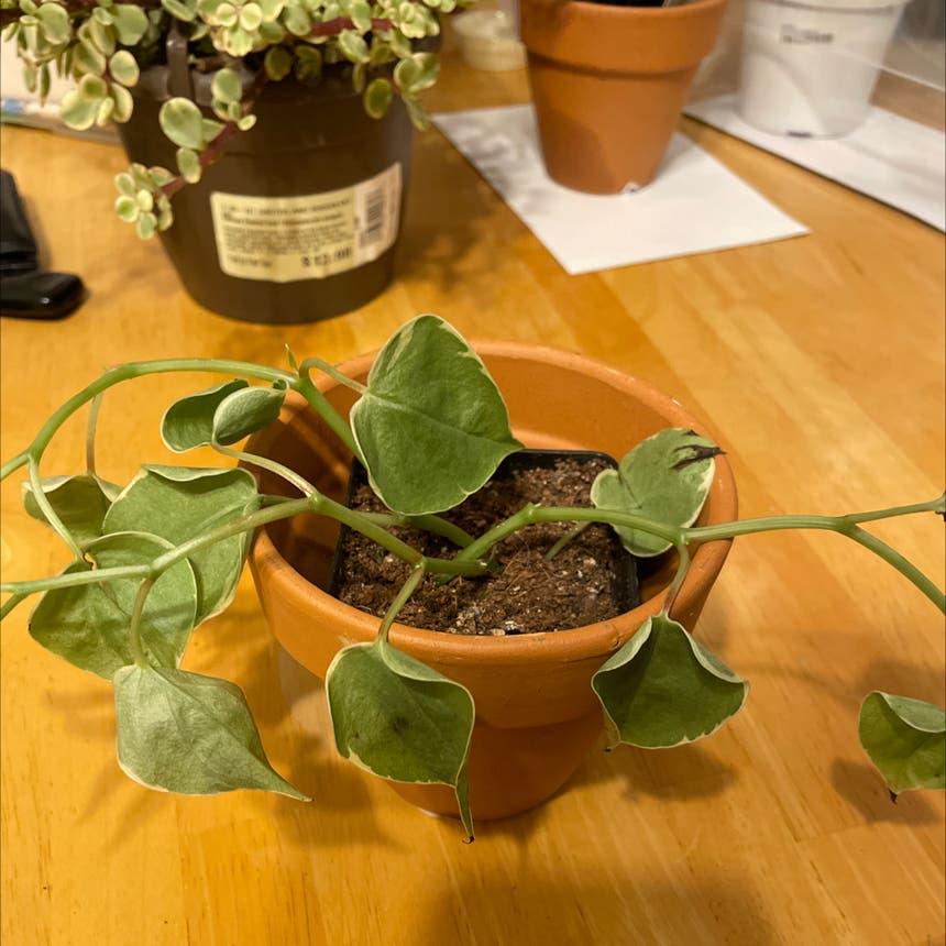 Vining Peperomia plant in Oklahoma City, Oklahoma