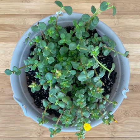Photo of the plant species Wingpod Purslane by Sarahsalith named OUTSIDE - Purslane - mint & yellow on Greg, the plant care app