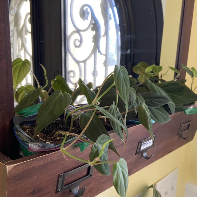 Velvetleaf philodendron plant