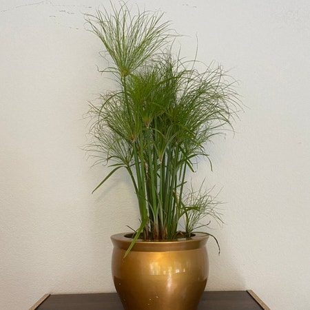 Photo of the plant species Indian matting plant by Sarahsalith named OUTSIDE - Papyrus on Greg, the plant care app
