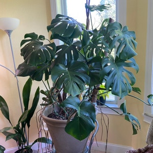 Rating of the plant Monstera named Monstera Deliciosa by Sarahsalith on Greg, the plant care app