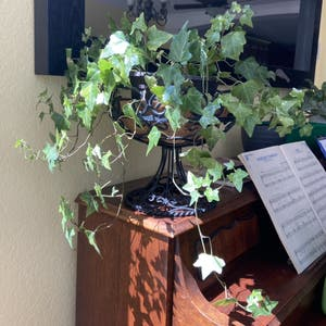 Rating of the plant English Ivy named English Ivy by Sarahsalith on Greg, the plant care app