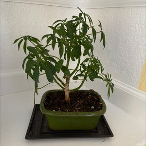 Rating of the plant Dwarf Umbrella Tree named Schefflera Little Umbrella 2 by Sarahsalith on Greg, the plant care app