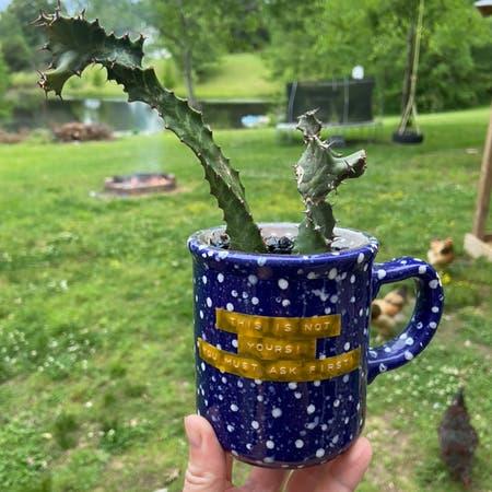 Photo of the plant species Euphorbia 'Zig Zag' by Sarahsalith named Euphorbia Pseudocactus Zig Zag on Greg, the plant care app