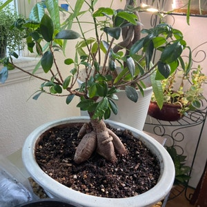 Rating of the plant Ficus Ginseng named Ficus Benjamina Ginseng by Sarahsalith on Greg, the plant care app