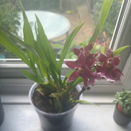 Photo of the plant species Cockleshell orchid by Poppyanne07 named Octavia on Greg, the plant care app