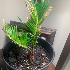 Sago Palm plant photo by Jahmilamae named Masago on Greg, the plant care app.