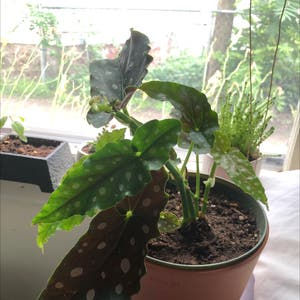 Polka Dot Begonia plant photo by Austin named pokey on Greg, the plant care app.