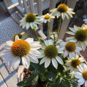 Purple coneflower plant photo by Amiee named Your plant on Greg, the plant care app.