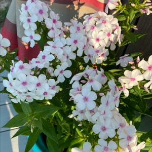 Garden phlox plant photo by Amiee named Your plant on Greg, the plant care app.