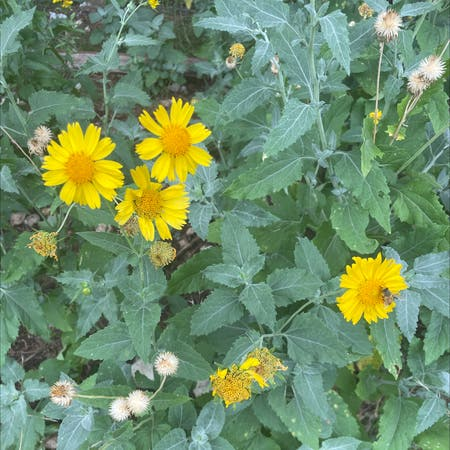Photo of the plant species Verbesina Encelioides by Amanda named Your plant on Greg, the plant care app