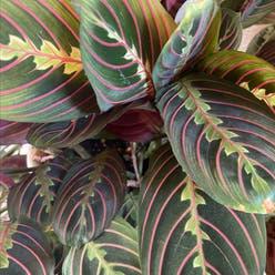 Green Prayer Plant plant