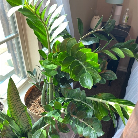 Photo of the plant species Variegated Zz Plant by Elises named Zyon on Greg, the plant care app