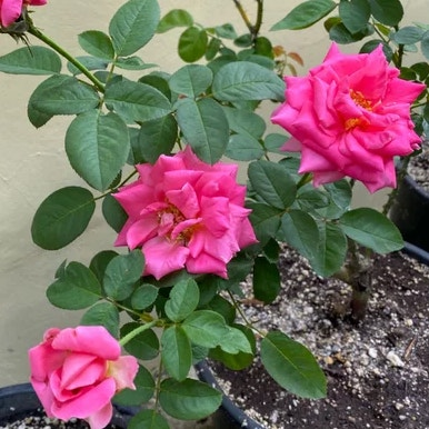 Photo of the plant species Miss All-American Beauty Rose by Baby_rocksoe named Cora on Greg, the plant care app
