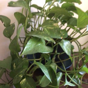 Golden Pothos plant photo by Linda named Philly 1 &2 on Greg, the plant care app.