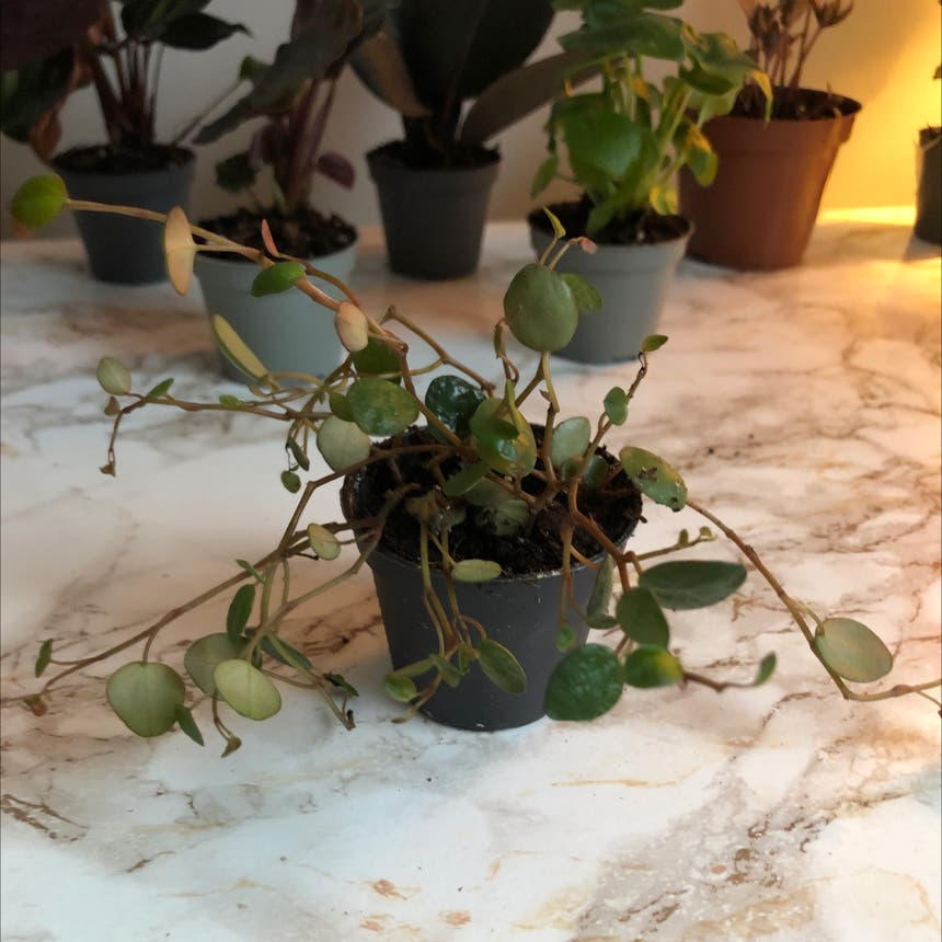 Peperomia 'Pepperspot' plant